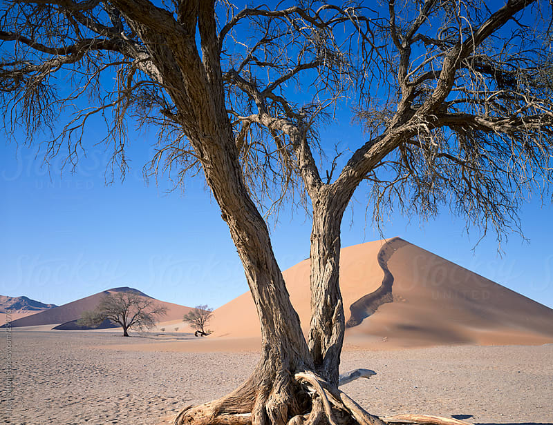 Trees in the Sossusvlei desert. Namibia. Africa by Hugh Sitton for Stocksy United