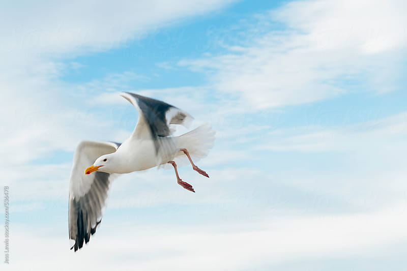 seagull in flight by Jess Lewis for Stocksy United