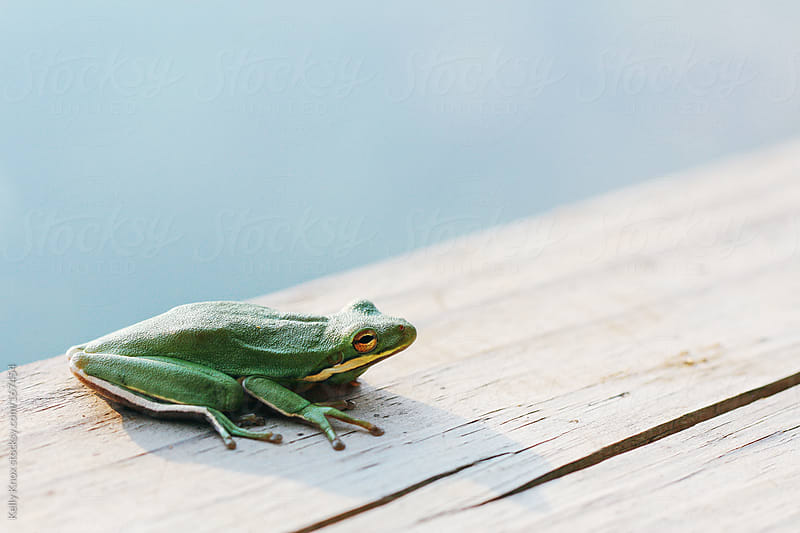 frog on a river boardwalk by Kelly Knox for Stocksy United
