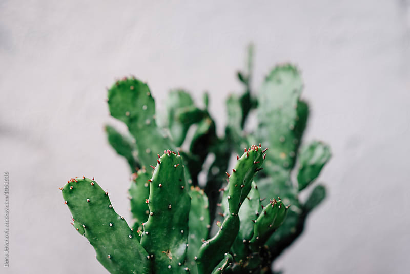 Close up of cactus against the white wall by Boris Jovanovic for Stocksy United