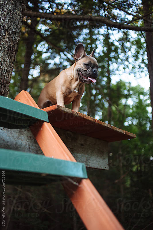 A french bulldog puppy sitting in a tree fort in the woods. by J Danielle Wehunt for Stocksy United
