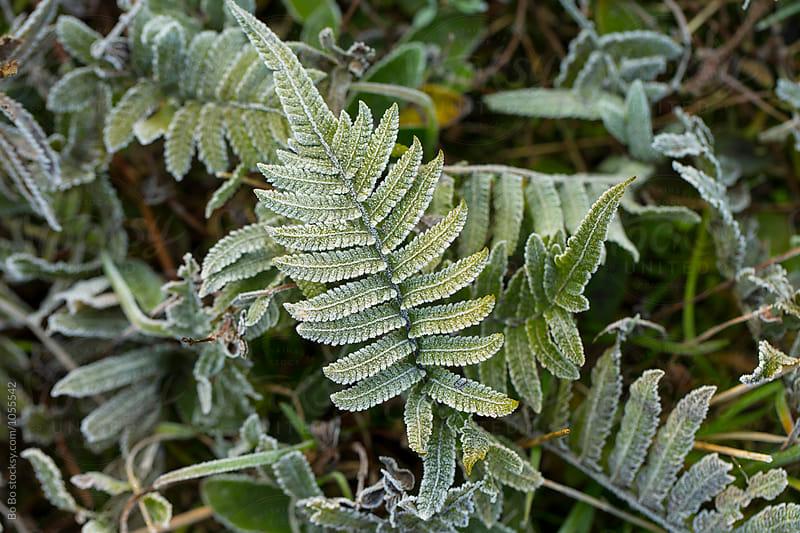 frost grass in winter morning by Bo Bo for Stocksy United