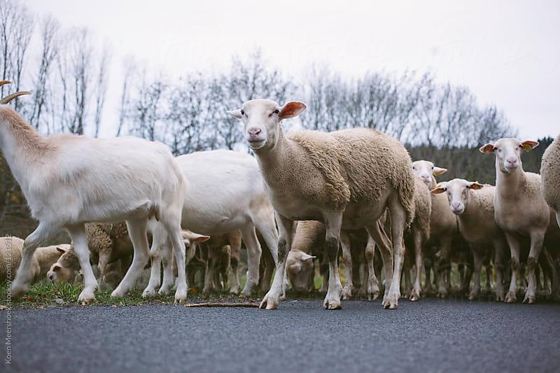 A herd of sheeps and goats. by Koen Meershoek for Stocksy United