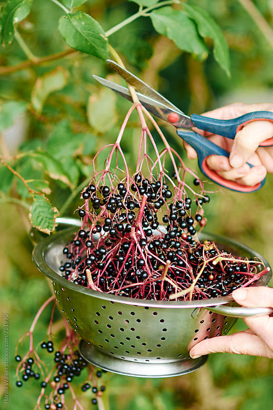 Harvesting elderberries by Harald Walker for Stocksy United