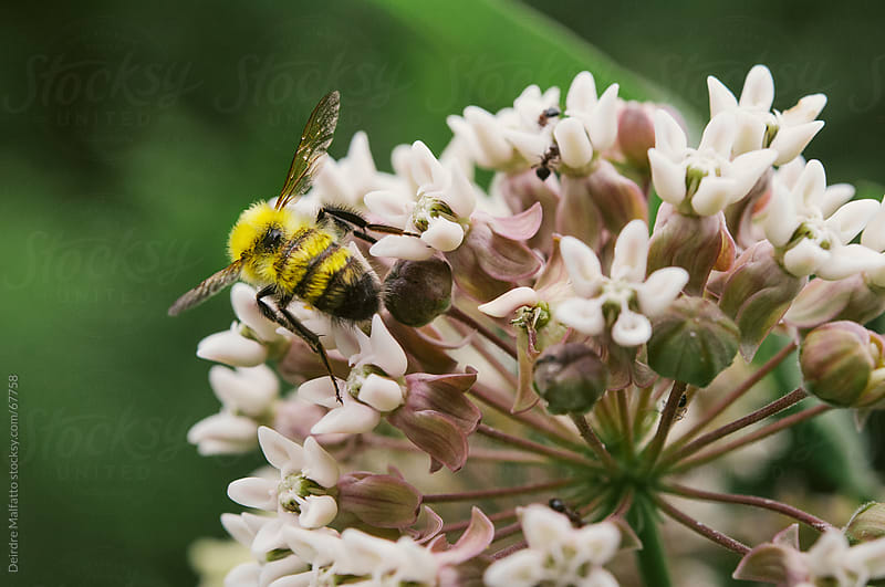 Macro of bee on milkweed flower by Deirdre Malfatto for Stocksy United