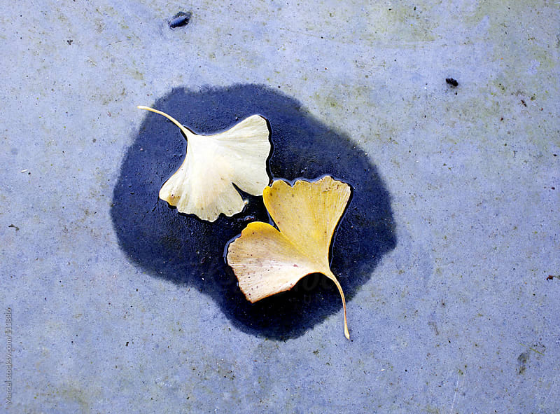 Two ginkgo leaves by Marcel for Stocksy United