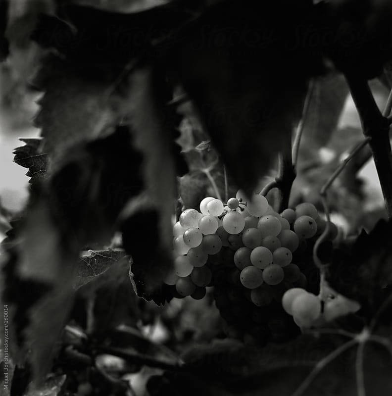 Grapes on the vine by Miquel Llonch for Stocksy United