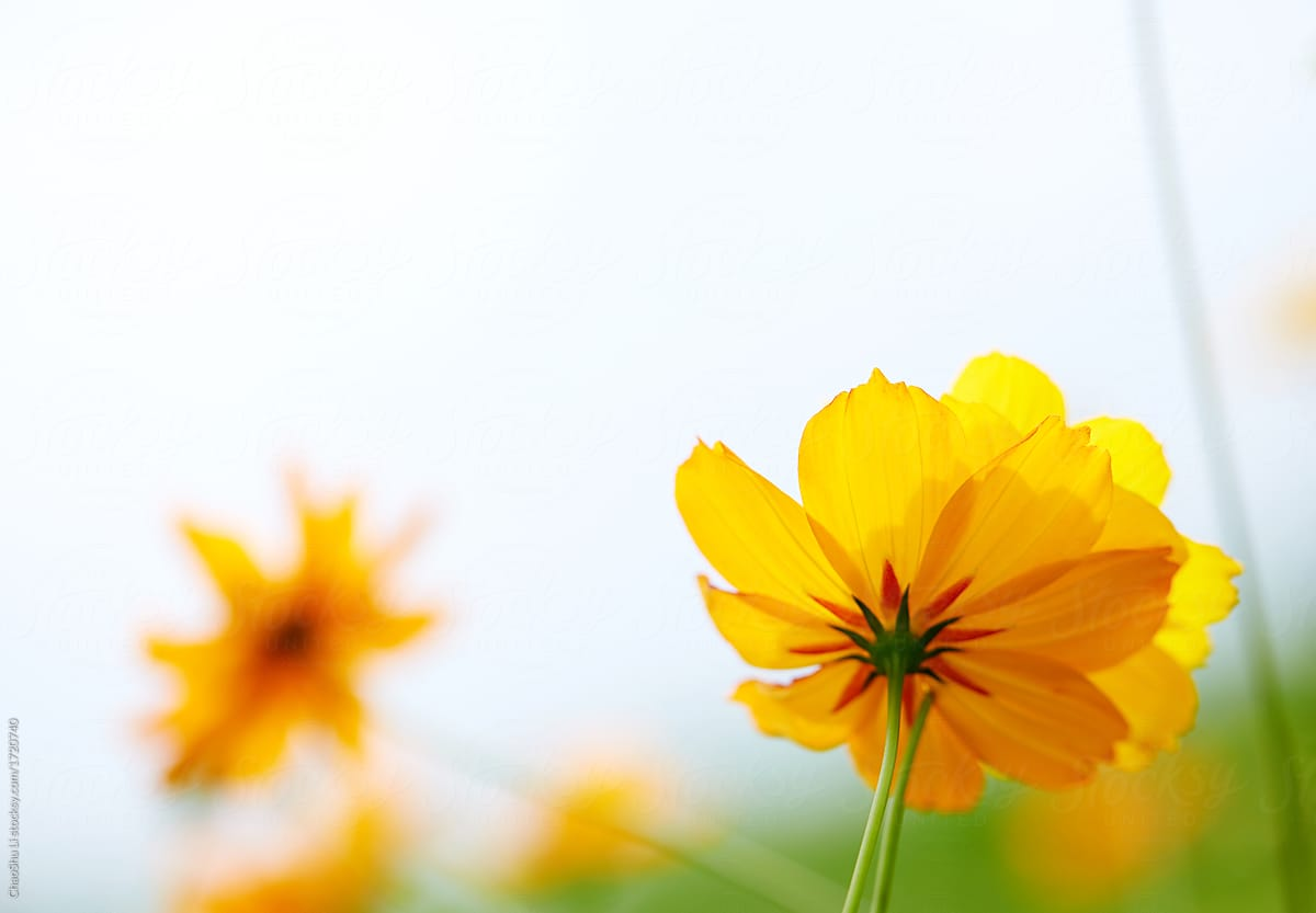 Background Of Beautiful Yellow Flower Nature Meadow Sky Stocksy