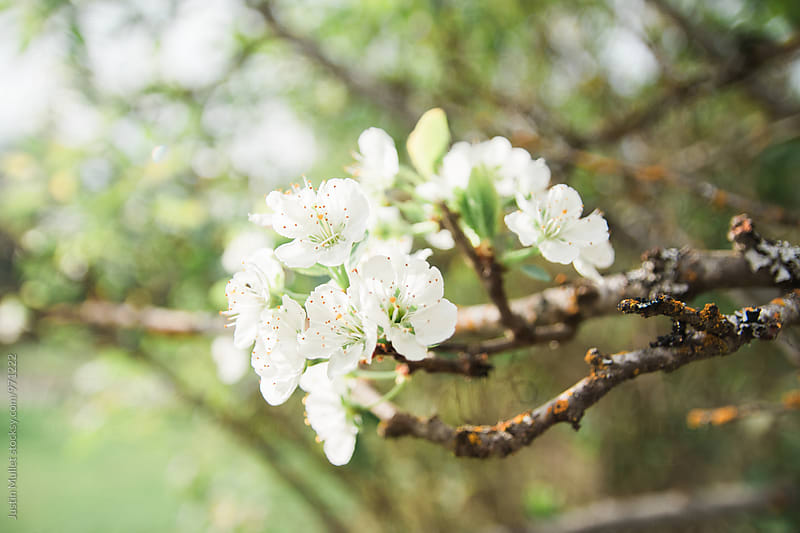 White Apple Blossoms on Tree by Justin Mullet for Stocksy United
