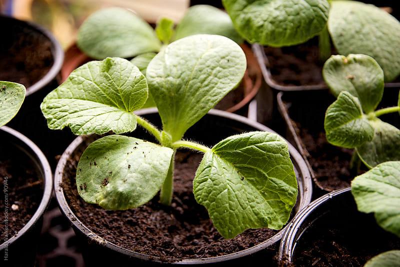 Pumpkin seedlings by Harald Walker for Stocksy United