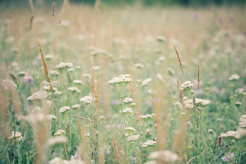 Queen Anne's Lace wildflower by Pixel Stories for Stocksy United