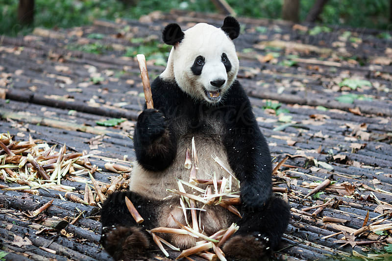 Panda in Chengdu by Paul Ratje for Stocksy United