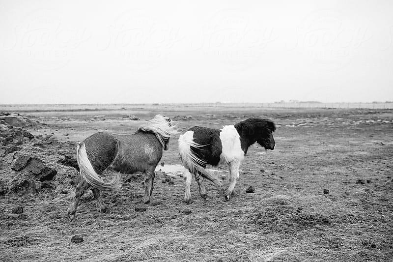 Icelandic horses by Lucas Ottone for Stocksy United