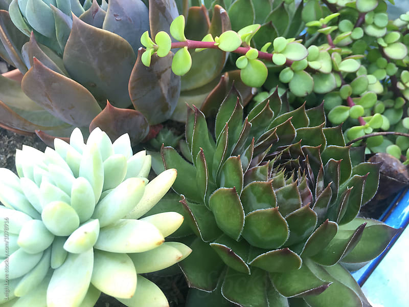 Succulent Plants by Leigh Love for Stocksy United