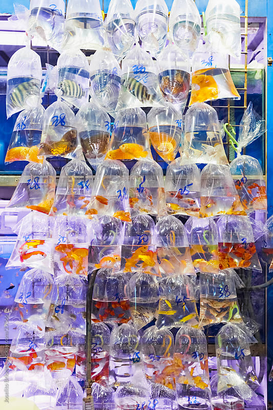 Tropical Fish in Plastic Bags, Goldfish Market, Hong Kong by Joselito Briones for Stocksy United