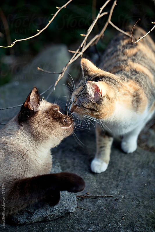 Two cats kissing in the sunset light by Laura Stolfi for Stocksy United