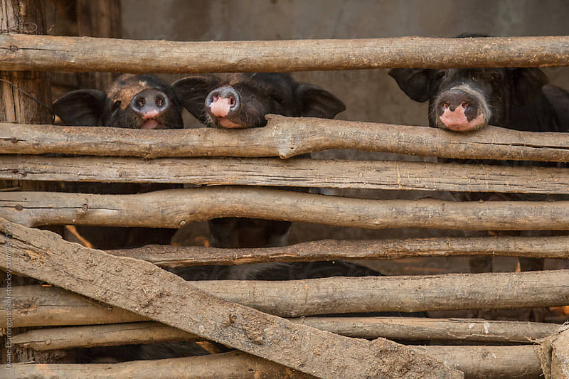 Three Pigs in a Pen by Diane Durongpisitkul for Stocksy United