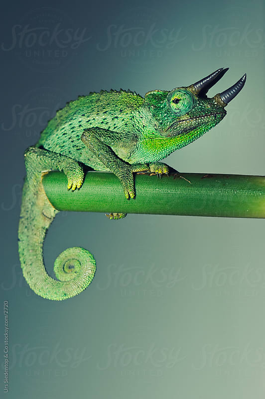Green Jackson Chameleon by Urs Siedentop & Co for Stocksy United
