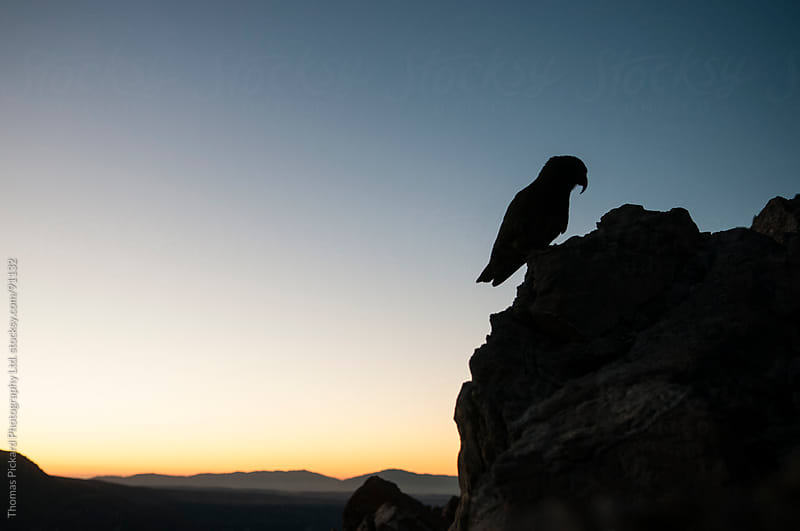 Kea, alpine parrot, Aoraki / Mt Cook National Park, New Zealand. by Thomas Pickard for Stocksy United