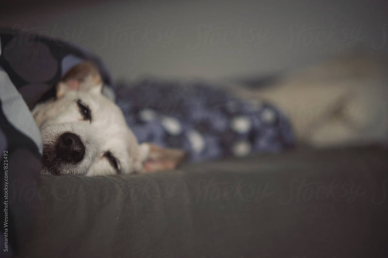 sleepy dog by Samantha Wesselhoft for Stocksy United