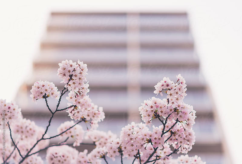 Cherry Blossoms Blooming In The City by Leslie Taylor for Stocksy United
