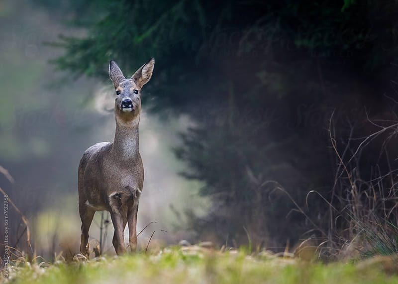 Roe deer by Gabriel Ozon for Stocksy United