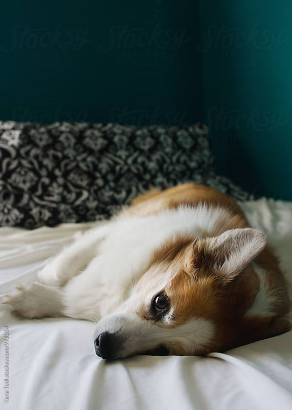 corgi mix dog relaxes on bed by Tana Teel for Stocksy United