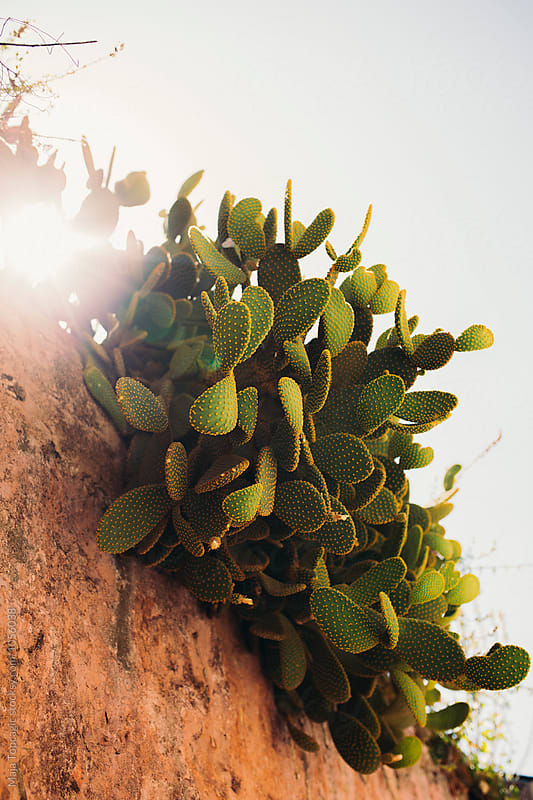 Cactus on a old rusty wall by Maja Topcagic for Stocksy United