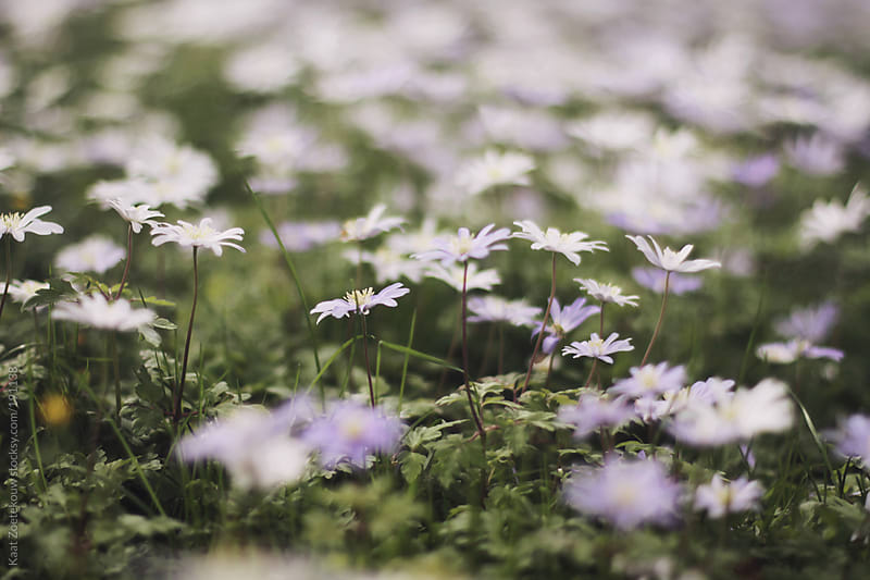 Low angled view of lilac- and white-colored daisies in Cambridge, UK. by Kaat Zoetekouw for Stocksy United