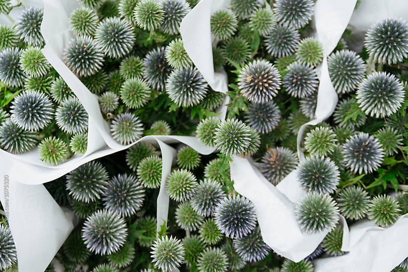 Bouquets of Echinops flowers by Kristin Duvall for Stocksy United