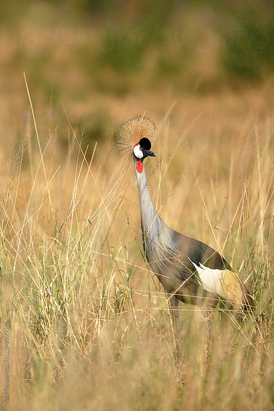 Crowned Crane by Paul Tessier for Stocksy United