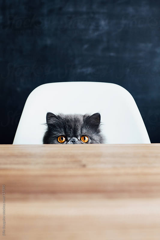 Sneaky persian kitty at the table by Ellie Baygulov for Stocksy United