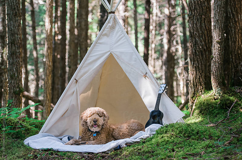 labradoodle waits for companion at tent in the forest by Tara Romasanta for Stocksy United
