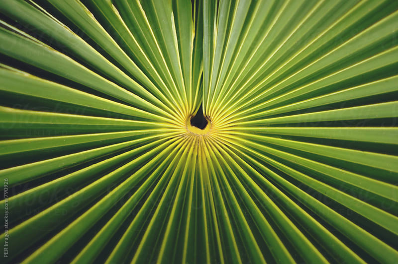 Leaf of palm tree by Per Swantesson for Stocksy United