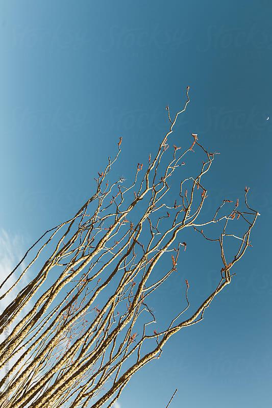 Ocotillo Plant Reaching Toward the Desert Sky by Luke Mattson for Stocksy United