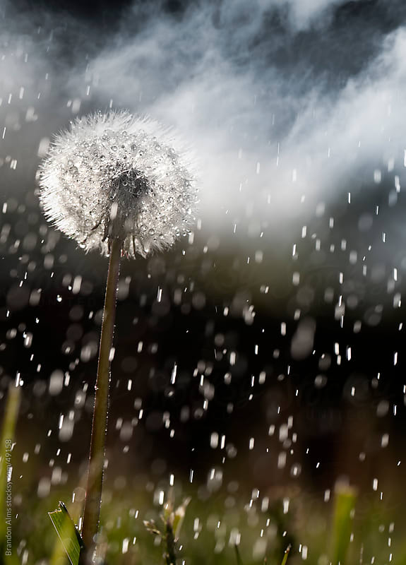 Rain Covers a Dandelion as a Storm Passes Through by Brandon Alms for Stocksy United
