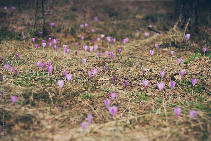 Violet flowers on the mountain field by Aleksandra Jankovic for Stocksy United