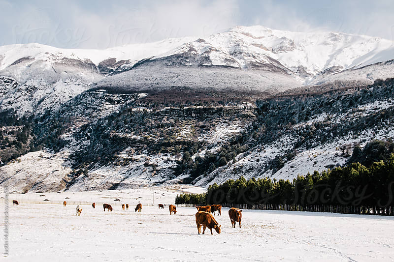 Cows grazing on rugged farm land in the Andes mountains by Justin Mullet for Stocksy United