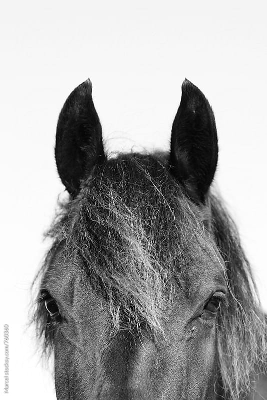 Horse head in b&w by Marcel for Stocksy United