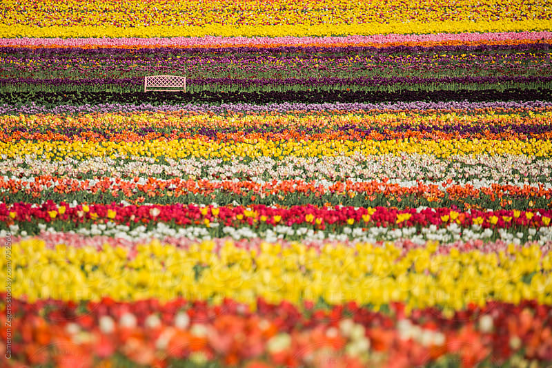 bench among field of tulips on spring by Cameron Zegers for Stocksy United