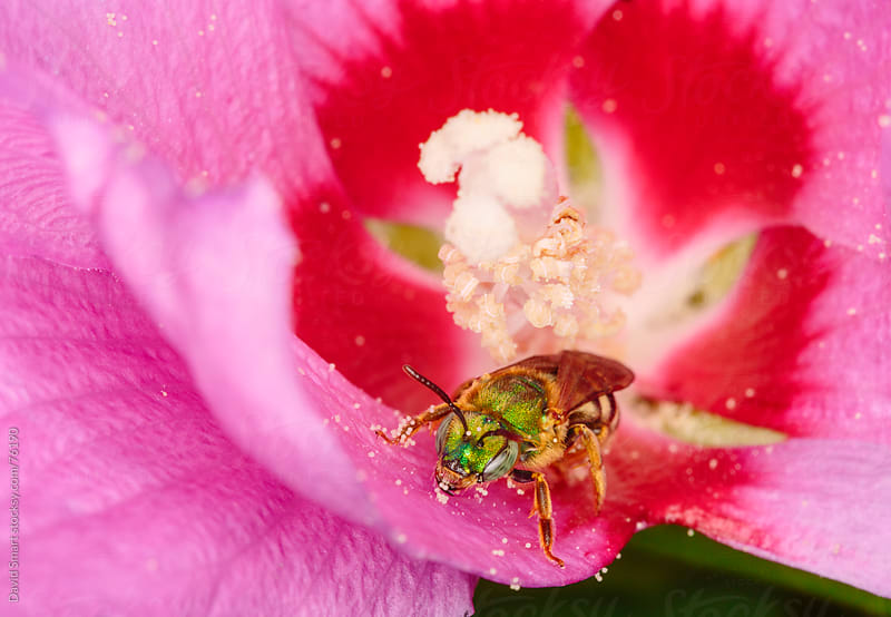Green Metallic Bee with pollen spheres clinging to its face and legs by David Smart for Stocksy United