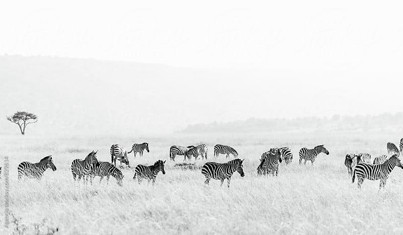 Zebra Herd by Agencia for Stocksy United