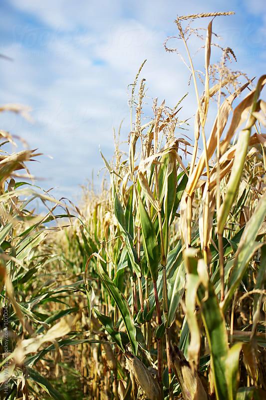 In the corn field by Harald Walker for Stocksy United