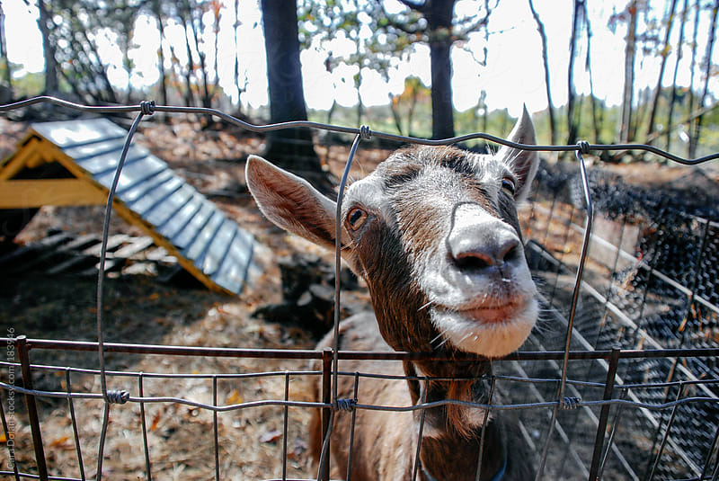 Barnyard goat pokes head over the fence to greet a visitor by Cara Dolan for Stocksy United