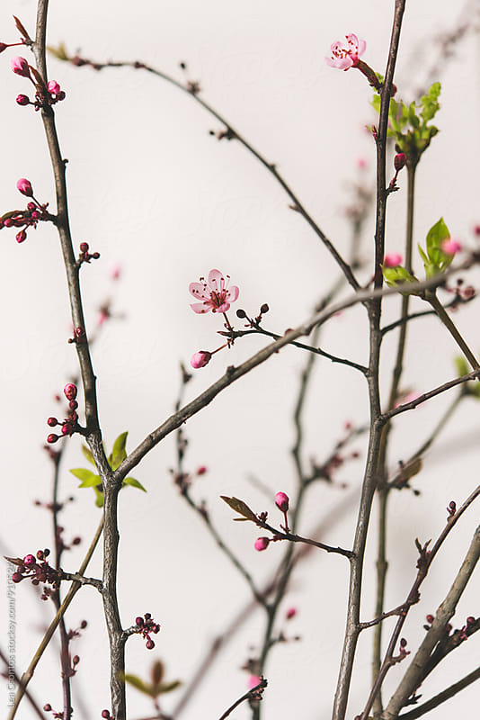 Blooming branches against a white wall by Lea Csontos for Stocksy United