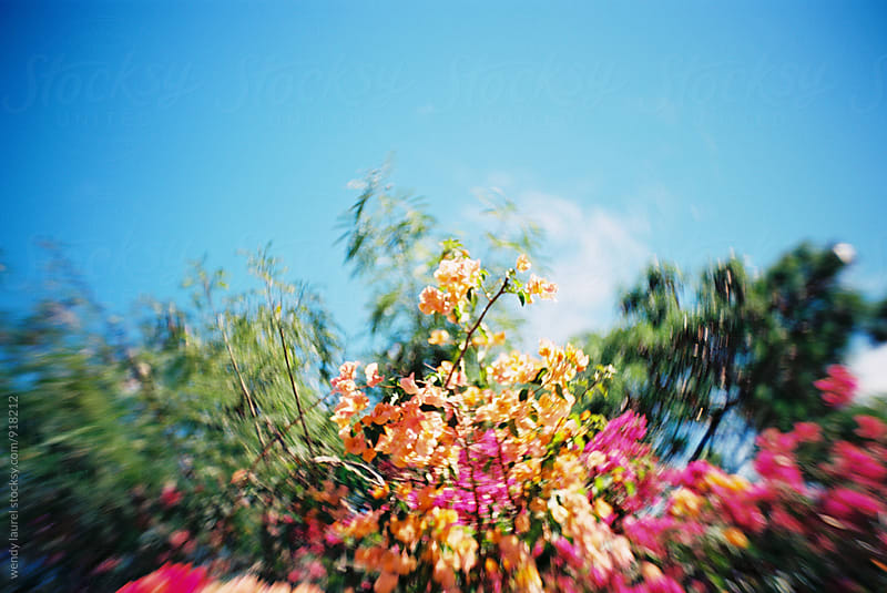 pink and orange bougainvilla against bright blue sky by wendy laurel for Stocksy United