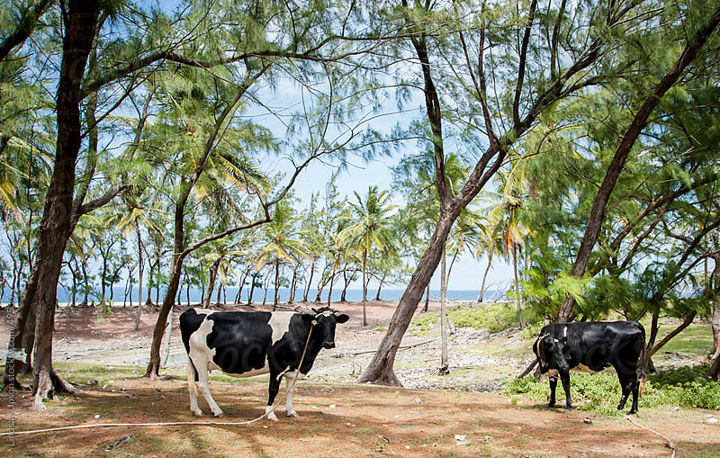 Cows in the trees by the ocean by Lindsay Upson for Stocksy United