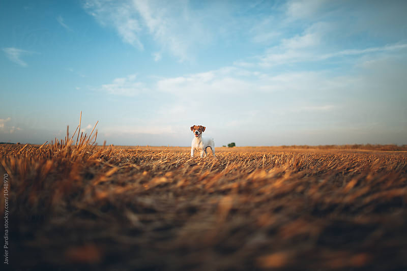 puppy of jack russell in the field by Javier Pardina for Stocksy United