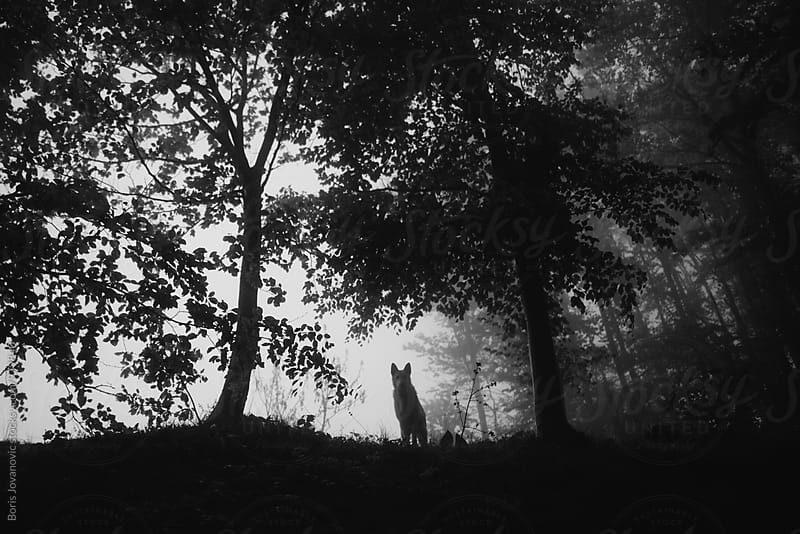 Dog standing on the edge of the forest by Boris Jovanovic for Stocksy United