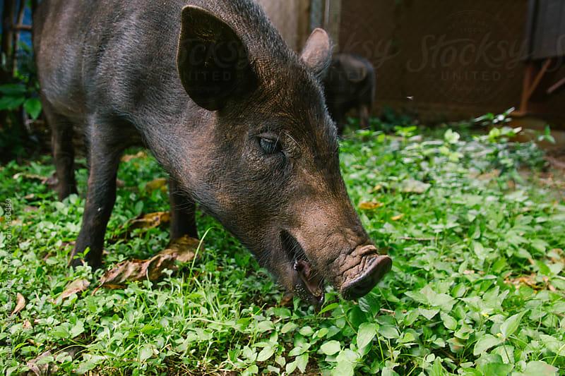 Wild boar or feral pig in urban area by Alejandro Moreno de Carlos for Stocksy United